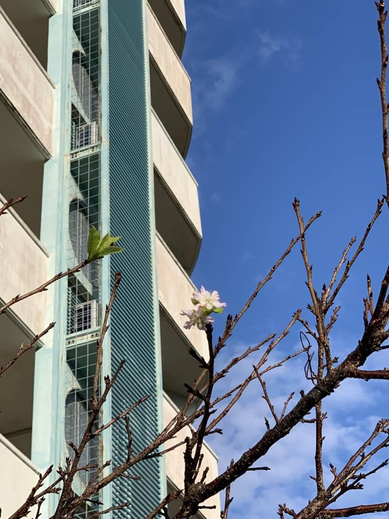 桜 狂い咲き